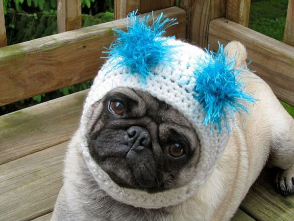 One Sad Pug Pickles in Adorable Hats