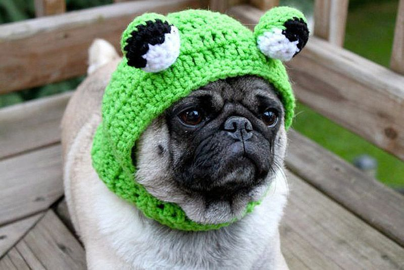 Pug in Knitted Hats