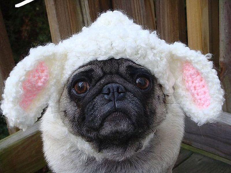 Sad Pug in hats