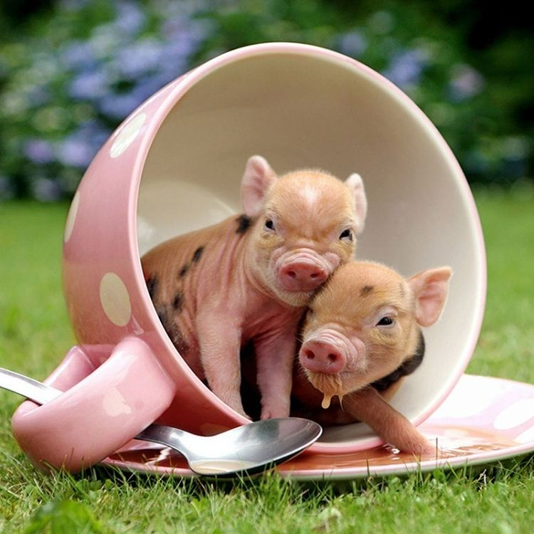 TWO PIGS SMALL ENOUGH TO FIT IN A TEACUP