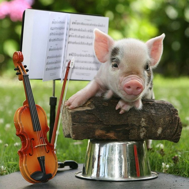 The pig who played violin