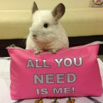 The Most Adorable Chinchilla on Instagram