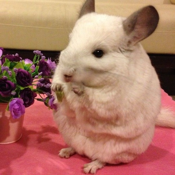 Adorable Chinchilla Bubu