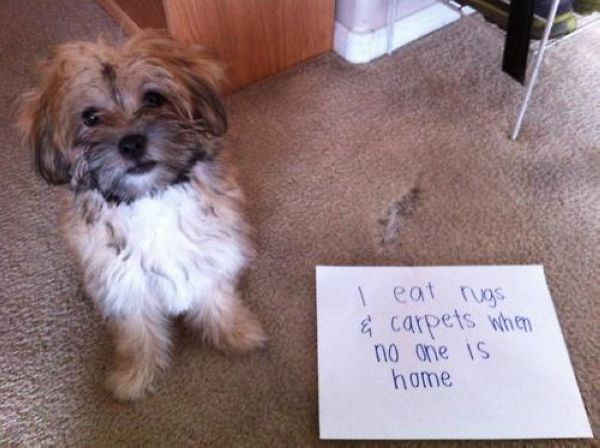 50 Guilty Dogs With Written Signs On What They Did Is