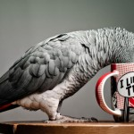 African Grey Parrot Jaco – The Most Intelligent Bird of World