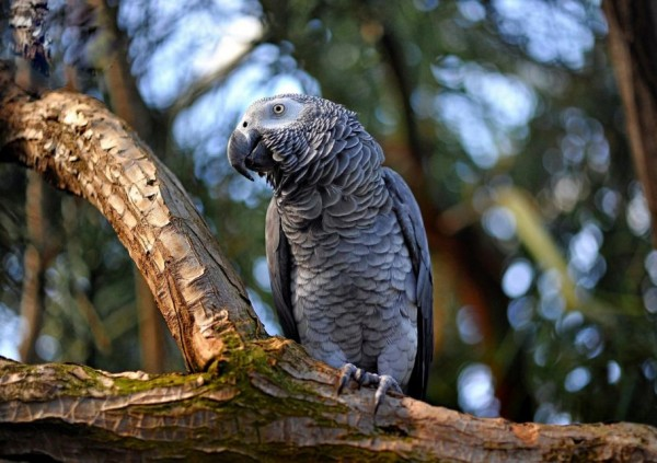 African Grey Parrot Jaco - The Most Intelligent Bird of World