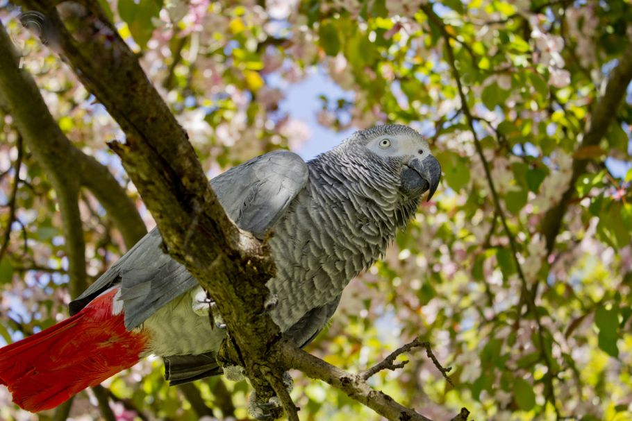 Gray African Parrot is The Most Talkative Bird