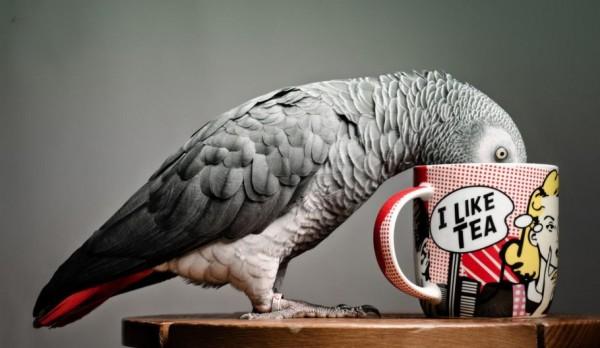 African Grey Parrot Jaco