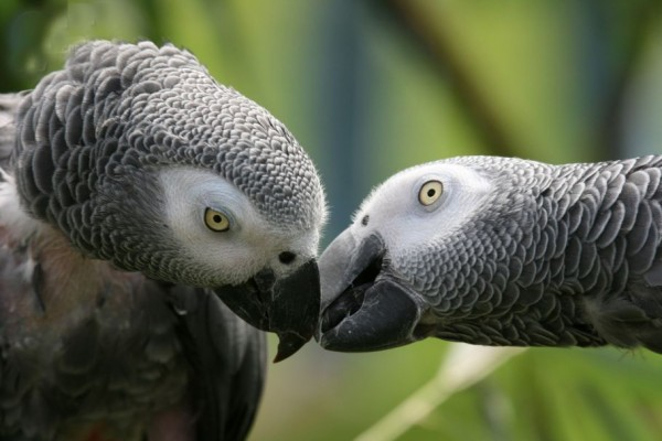 The Gray African Parrot Jaco Pictures