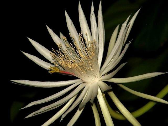 1. Kadupul Flower (Priceless)