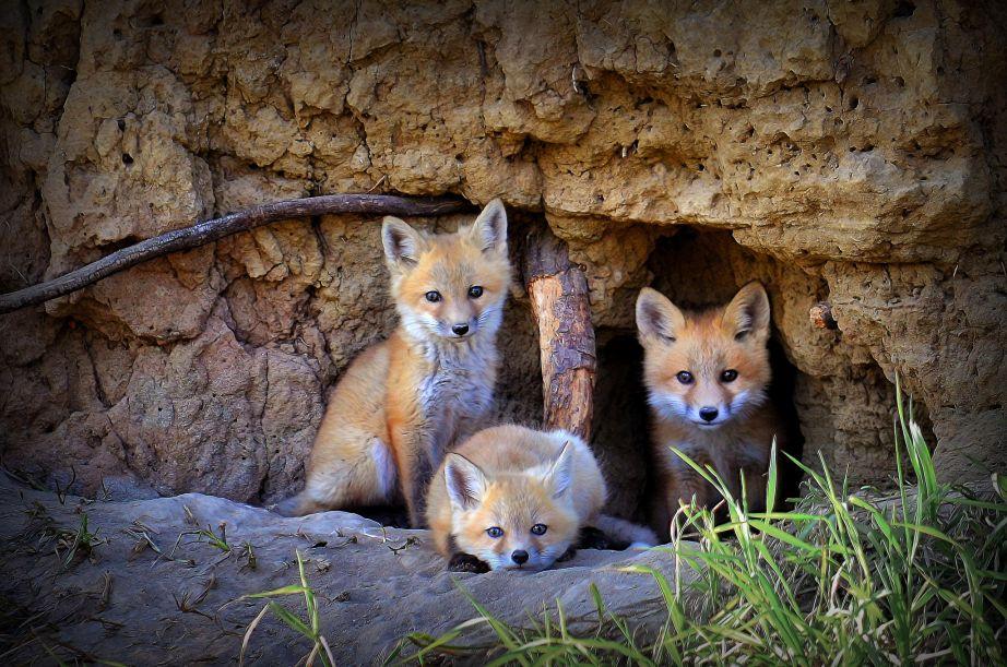 Fox Family of Wabamun Lake