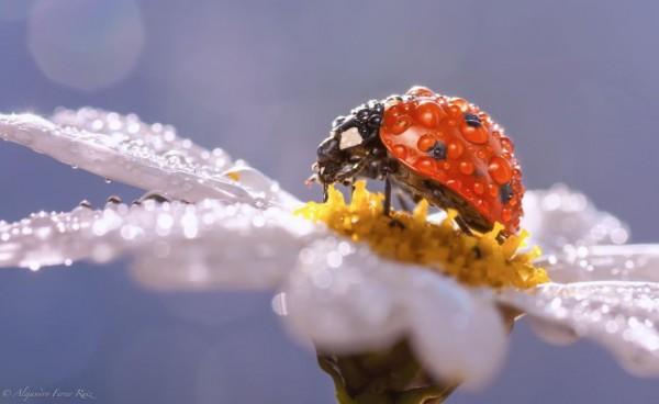 Enchanting Macro Photography: Raindrops and Ladybugs by Alejandro Ferrer Ruiz