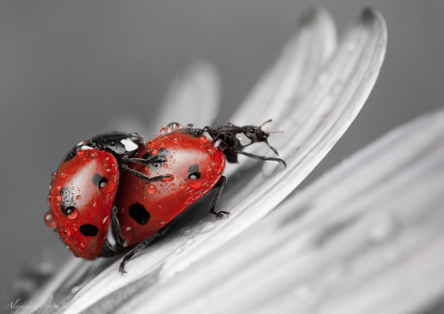 Lady bugs in Love