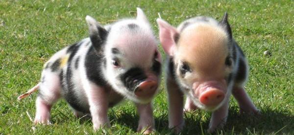 Most Adorable Micro Pig Photos Ever