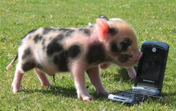 Tiny Pigs at Pennywell Farm