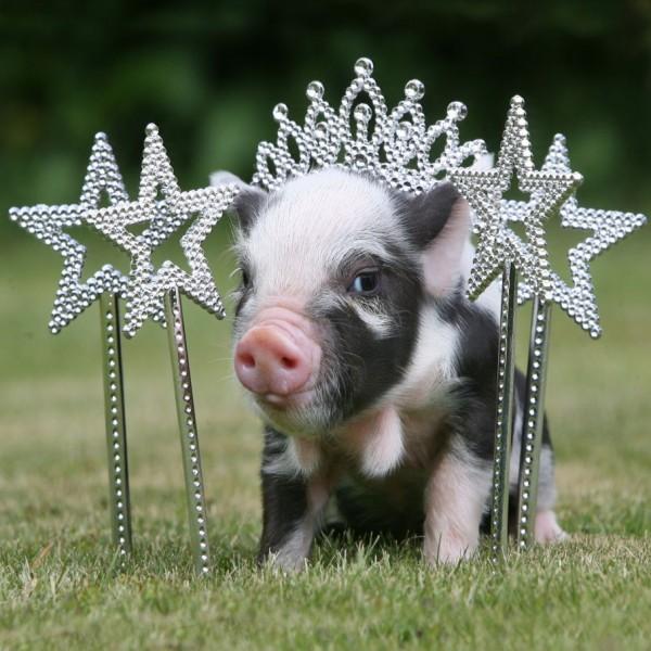 Miniature Pig Photos