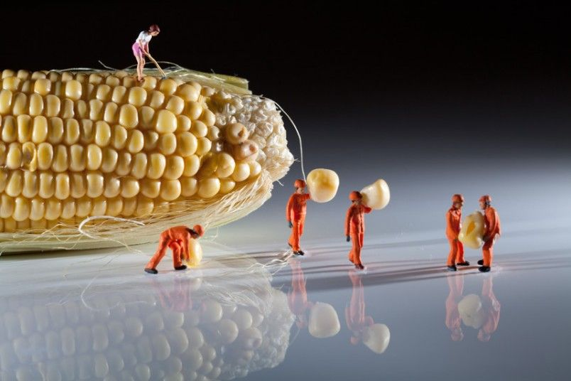 Of maize