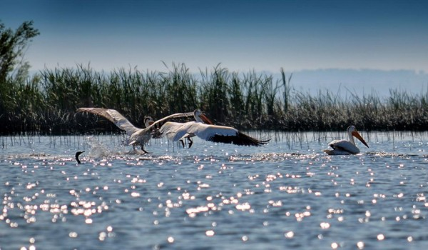 Pelicans of Lake Wabamun