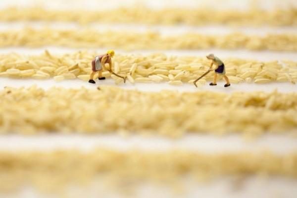 Rice fields midgets