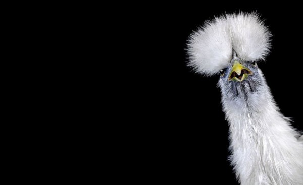 Ernest Goh Explores the Surprising World of Chicken Beauty Pageants
