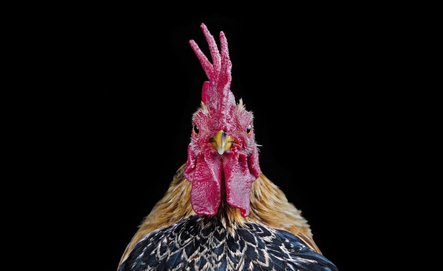 Ernest Goh - COCKS, Chicken Beauty Pageants