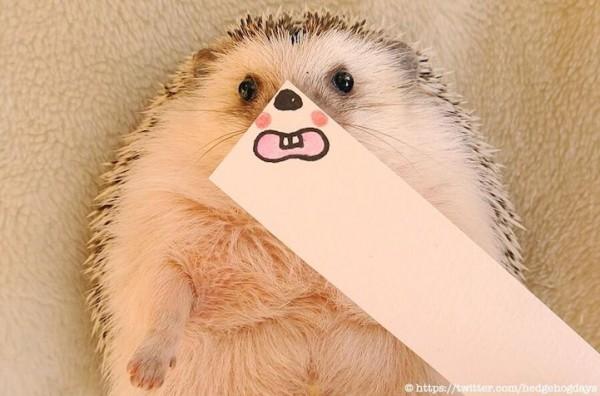 New internet celebrity Hedgehog Marutaro
