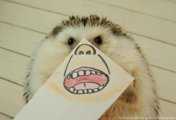 Pygmy Hedgehog Marutaro
