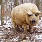 Mangalica – Pig in Sheep's Clothing
