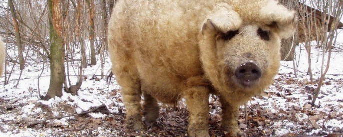 Mangalica - Pig in Sheep's Clothing