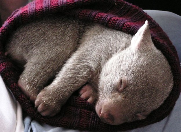22-With This Sleeping Wombat