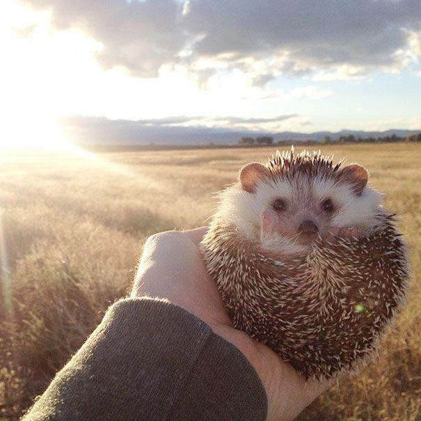 Meet Biddy, the Cutest Travelling Hedgehog