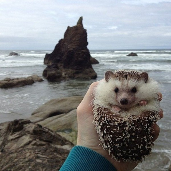 Meet Biddy, the Cutest Travelling Hedgehog