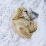 Cutest Birth Story Ever – Polar Bears Give Their Firstborn