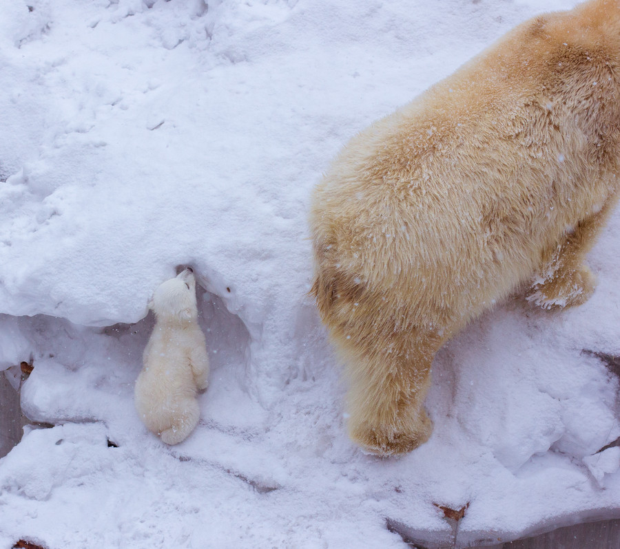 The little thing is frisking enjoying the first snow in its life . It studies the world with caution but at the same time has fun playing with its mother.