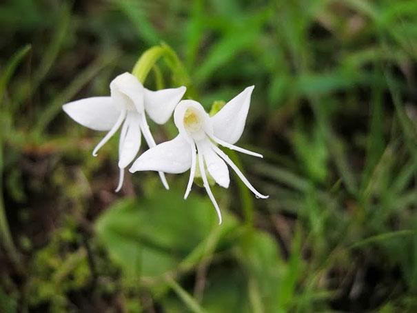 13. Angel Orchid: Habenaria Grandifloriformis