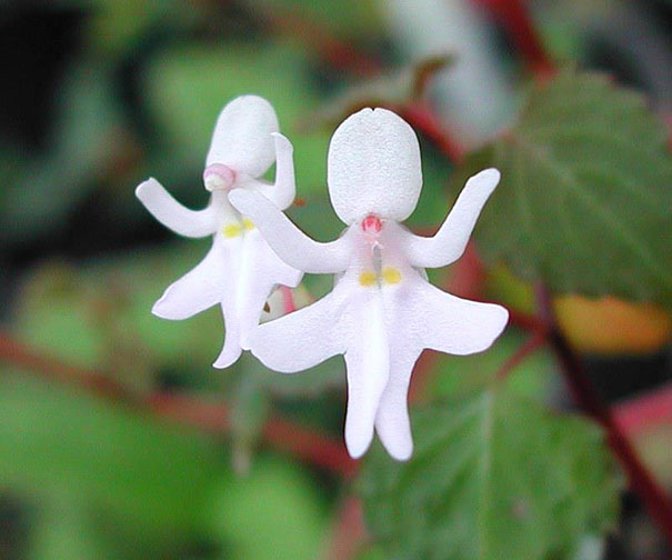 6. Dancing Girls: Impatiens Bequaertii