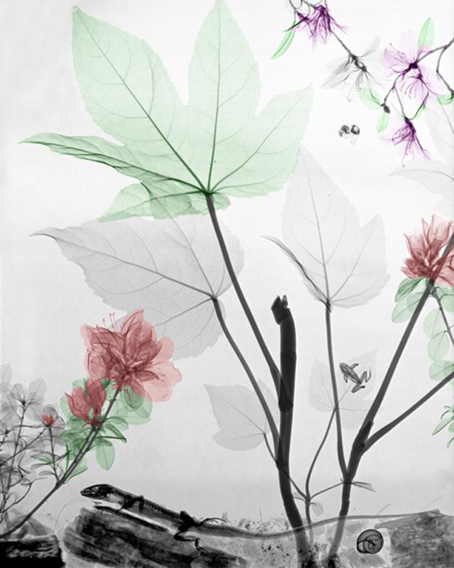 Fatsia, Azalea, Rododendron