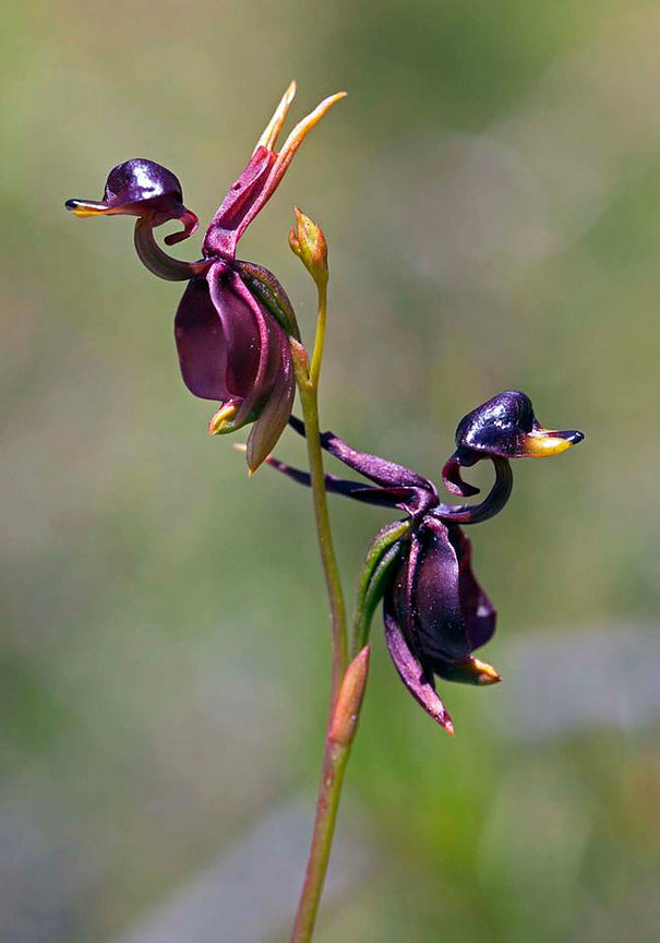10. Flying Duck Orchid: Caleana Major