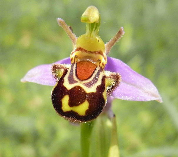 7. Laughing Bumble Bee Orchid: Ophrys Bomybliflora