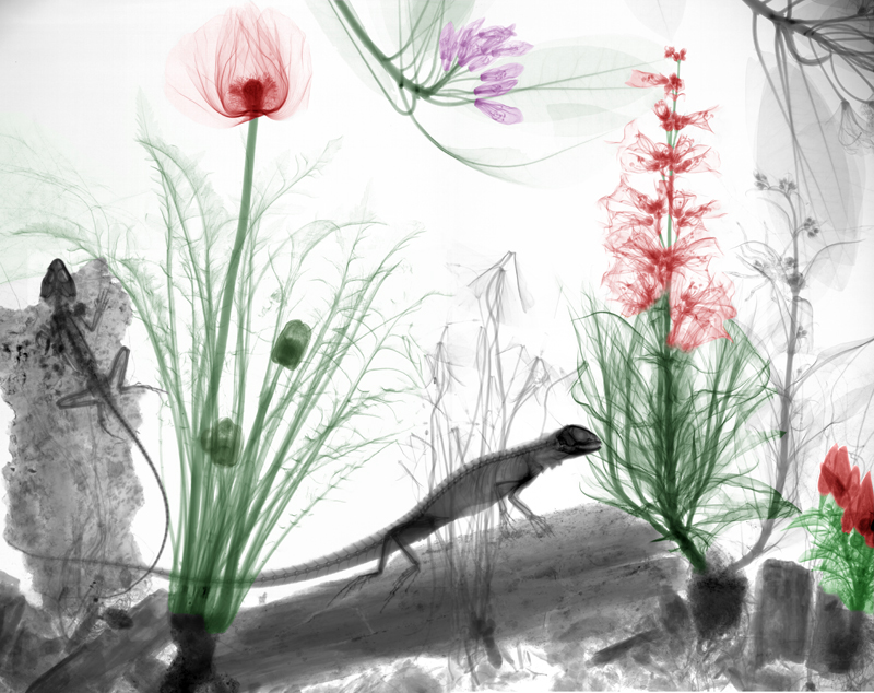 Poppy, penstemon, rododendron