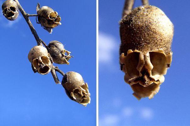 Snap Dragon Seed Pod Antirrhinum