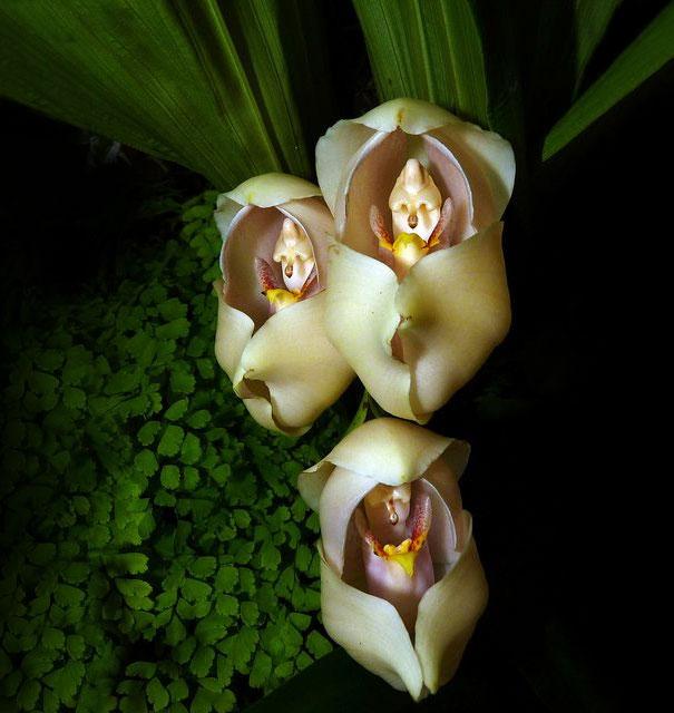 8. Swaddled Babies: Anguloa Uniflora