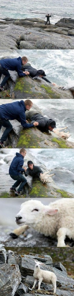 These guys rescuing a sheep from the ocean