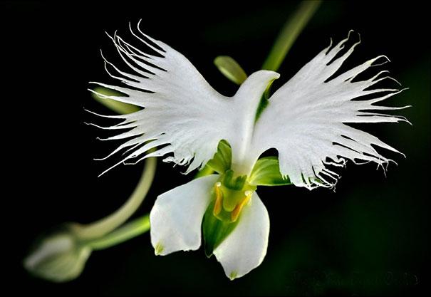 White Egret Orchid Habenaria Radiata