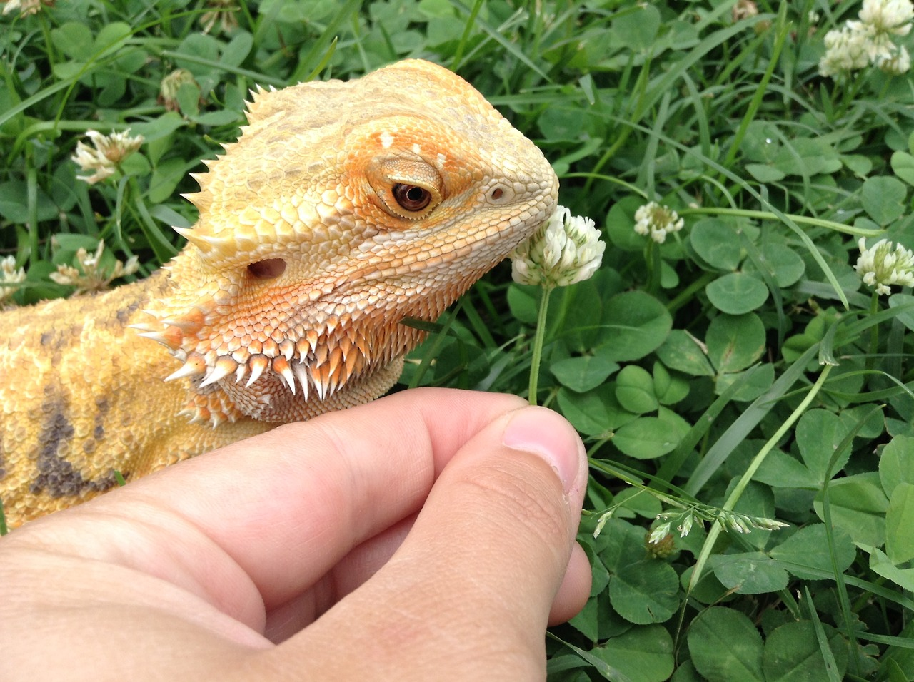 how to tell if you have a male bearded dragon