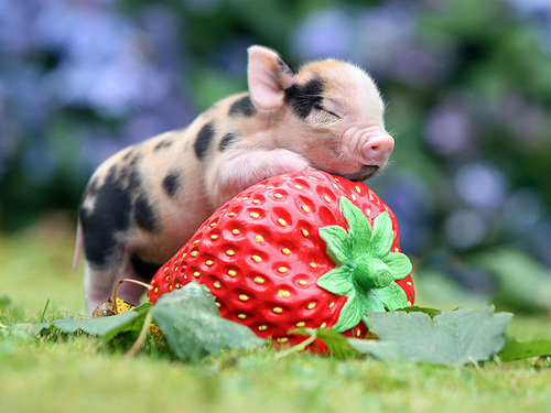 A TEACUP PIG
