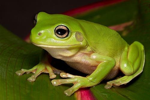 A Treefrog