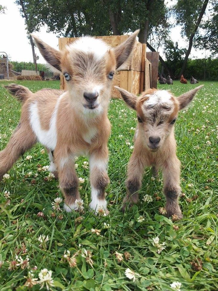 This Baby Goats Moment