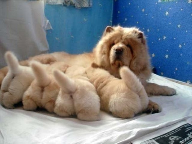 This Moment Of Chow Chow Puppy Butts