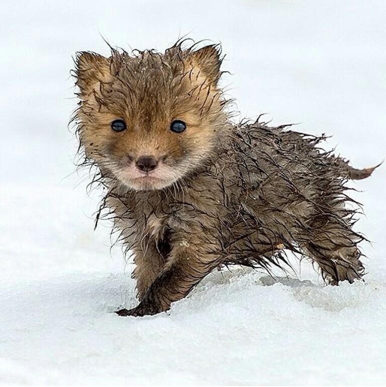 This Wet Baby Fox
